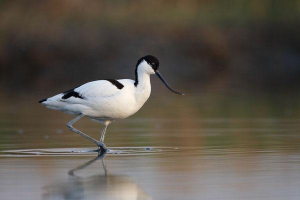 Säbelschnäbler,Recurvirostra avosetta,Avocet 19