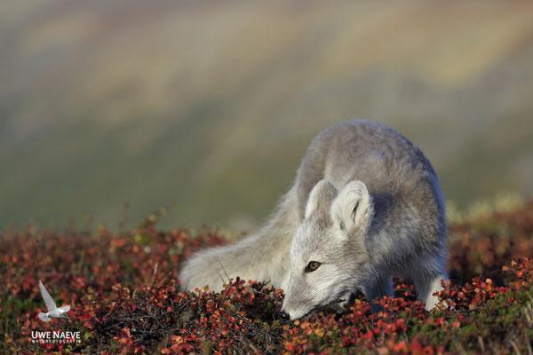 Polarfuchs,Eisfuchs,Arctic Foxes,Alopex lagopus,Vulpex lagopus 0073