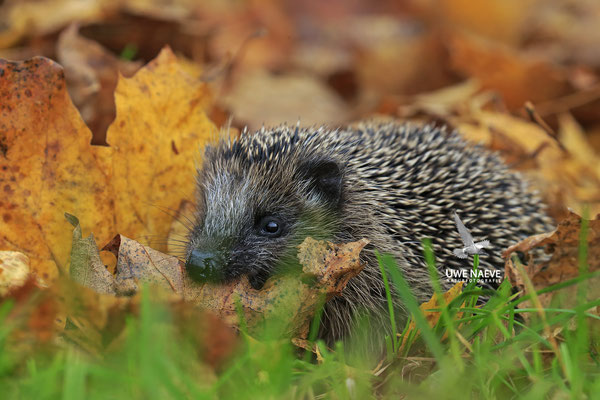Europaeischer Igel,European Hedgehog,Erinaceus europeas 0029