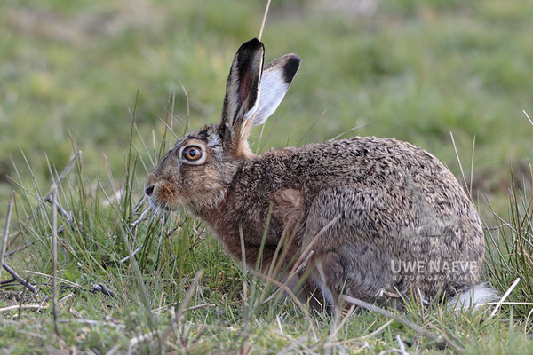 Feldhase Brown Hare Lepus europanus 0002