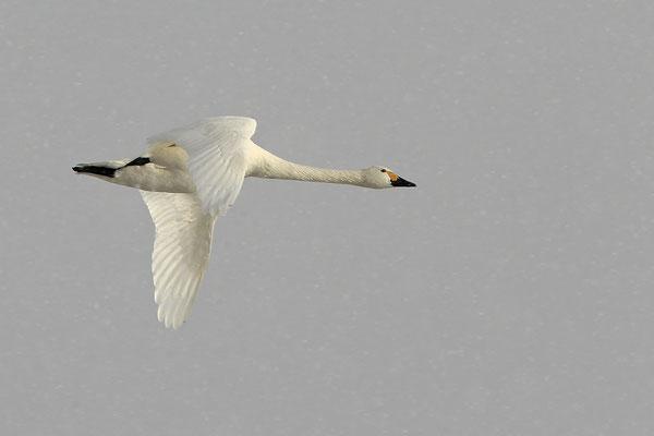 Zwergschwaene,Cygnus bewickii,Bewicks Swan 0088