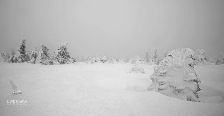 Harz, Brocken,Fichtenwald im Winter 8739