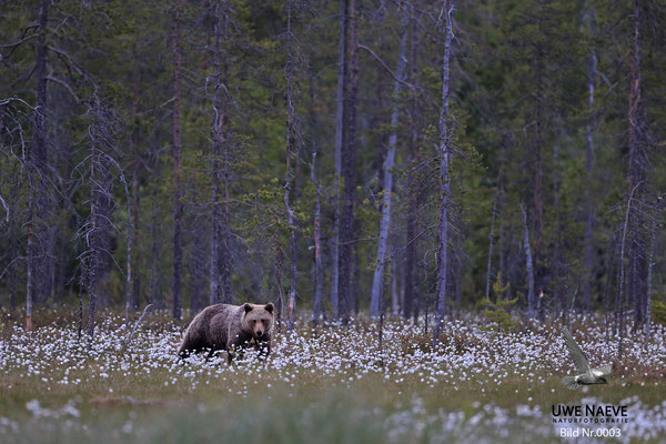 Braunbaer Ursus arctos brown bear 0003