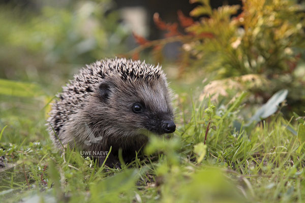 Europaeischer Igel,European Hedgehog,Erinaceus europeas 0016