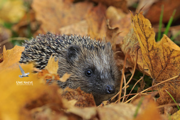 Europaeischer Igel,European Hedgehog,Erinaceus europeas 0022