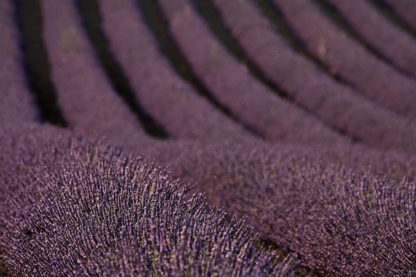 Lavendel,Lavender,Lavendula angustifolia 0011