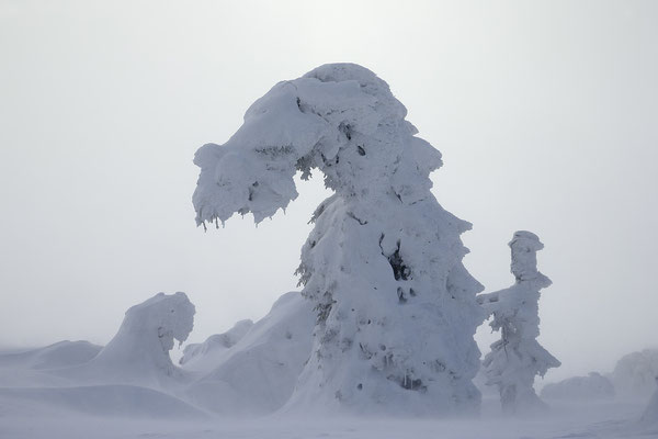 Harz, Brocken ,Fichtenwald im Winter 8871