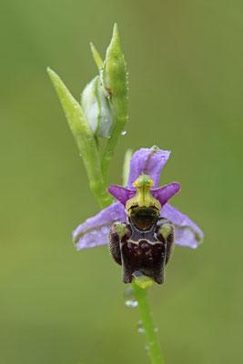 Durance-Hummel-Ragwurz Ophrys druentica 0001