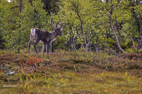 Ren Rentier Rangifer tarandus Reindeer 0034