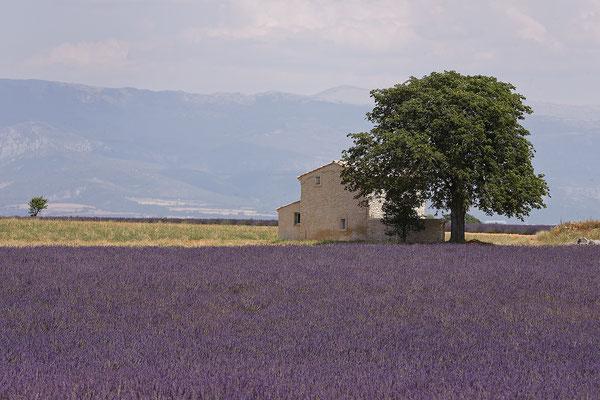 Lavendel,Lavender,Lavendula angustifolia 0025