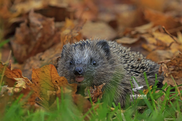 Europaeischer Igel,European Hedgehog,Erinaceus europeas 0028