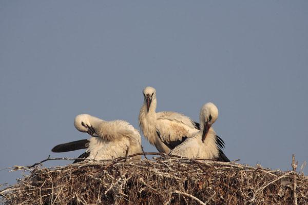 Weissstoerche,White Stork,Ciconia ciconia 0051