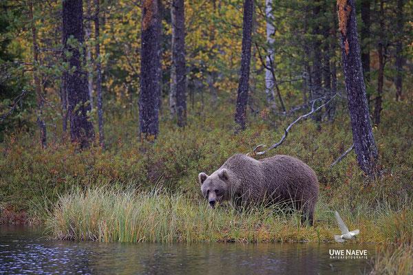 Braunbaer Ursus arctos brown bear 0054