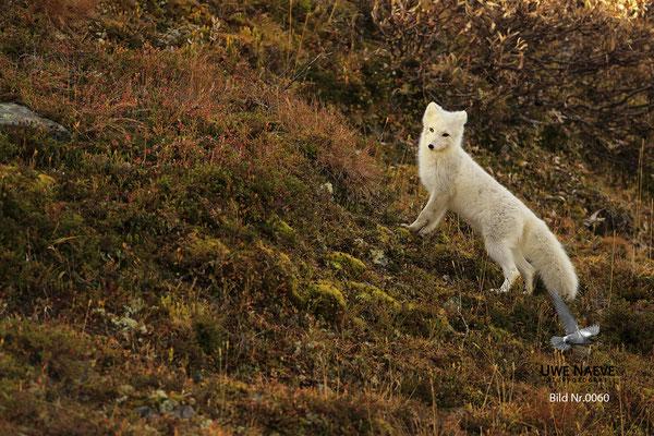Polarfuchs,Eisfuchs,Arctic Foxes,Alopex lagopus,Vulpex lagopus 0060