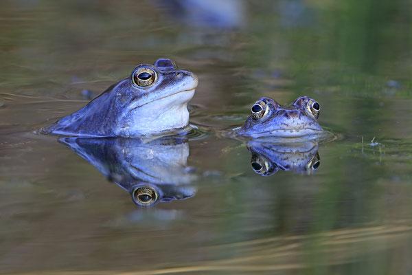 Moorfrosch rana arvalis moor frog 0031