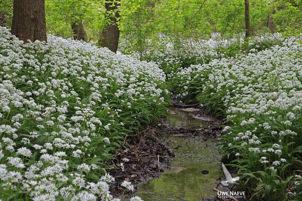 Bärlauch,Allium ursinum 0028