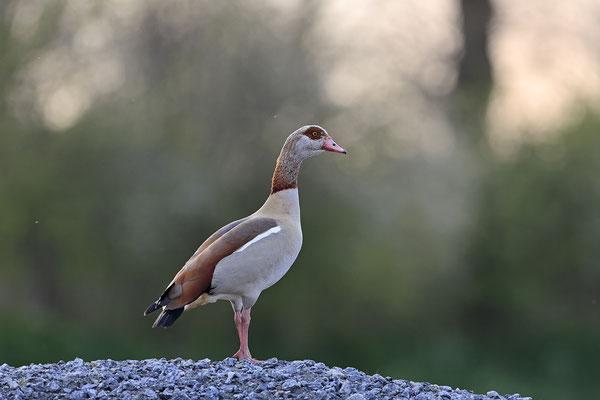 Nilgans,Alopochen aegyptiaca,Egyptian Goose 0004