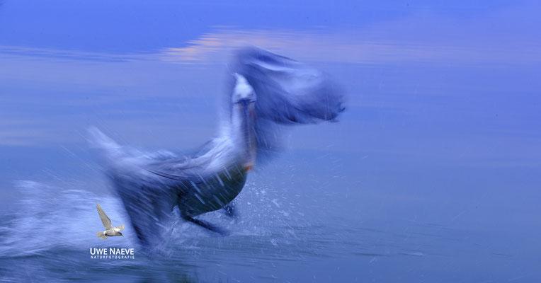 Krauskopfpelikan,Dalmatien pelican,pelecanus crispus 0017