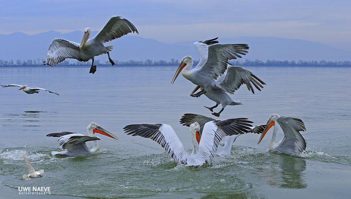 Krauskopfpelikan,Dalmatien pelican,pelecanus crispus 0036