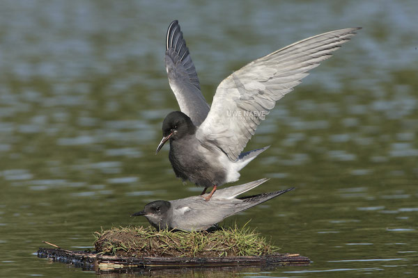 Trauerseeschwalbe,Black Tern,Chlidonias niger 0004