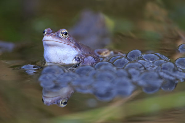 Moorfrosch rana arvalis moor frog 0027
