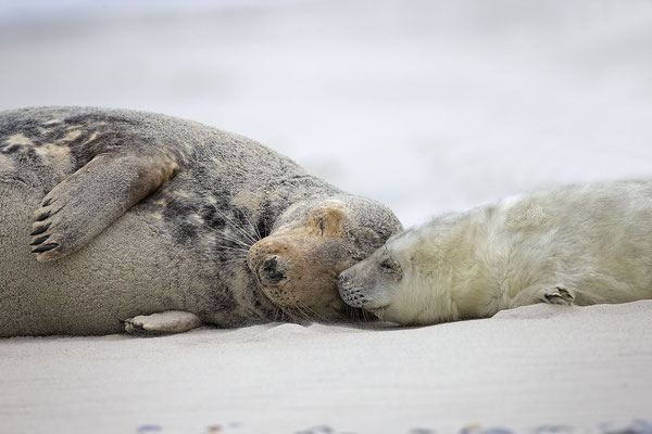 Kegelrobbe,Grey Seal,Halichoerus grypus 0141