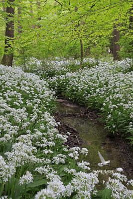 Bärlauch,Allium ursinum 0029