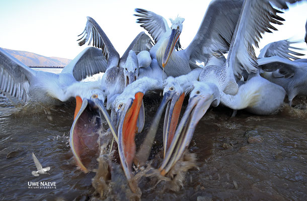 Krauskopfpelikan,Dalmatien pelican,pelecanus crispus 0072