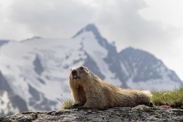 Alpenmurmeltier,Marmota,Marmot 0053