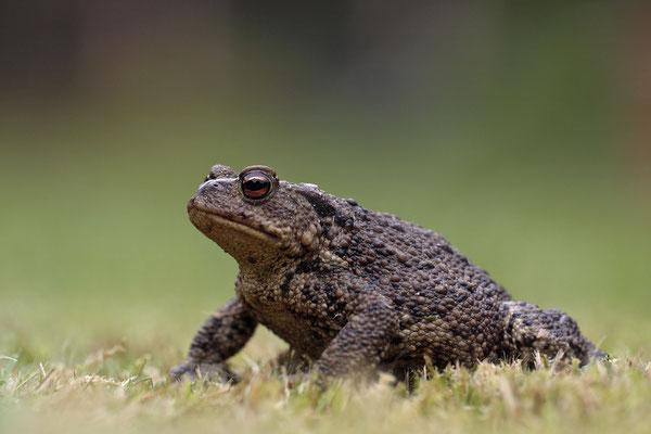 Erdkroete,Bufo bofo,Cammon Toad 0003