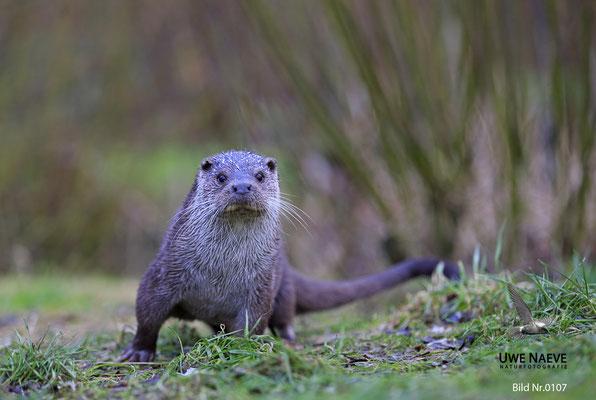 Fischotter,Otter,Lutra lutra 0107