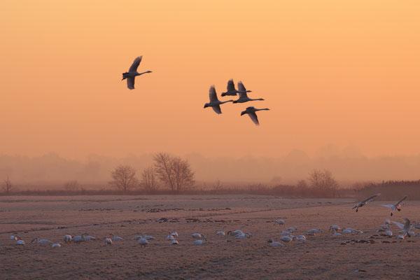 Singschwan,Whooper Swan,Cygnus cygnus 0036