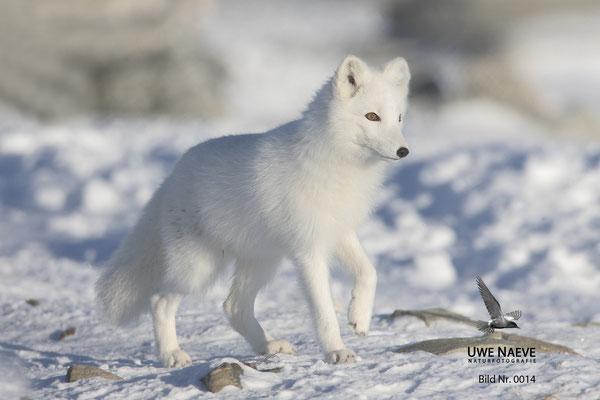 Polarfuchs,Eisfuchs,Arctic Foxes,Alopex lagopus,Vulpex lagopus 004