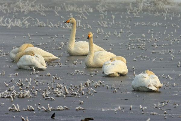 Singschwan,Whooper Swan,Cygnus cygnus 0020