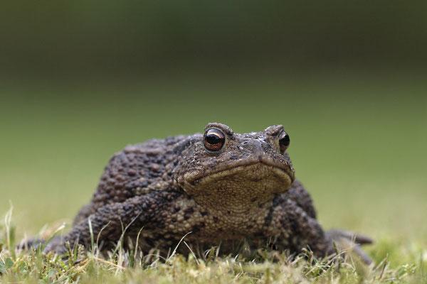 Erdkroete,Bufo bofo,Cammon Toad 0001