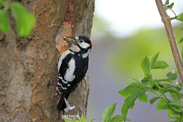 Buntspecht,Great Spotted Woodpecker,Dendrocopos mayor 0054
