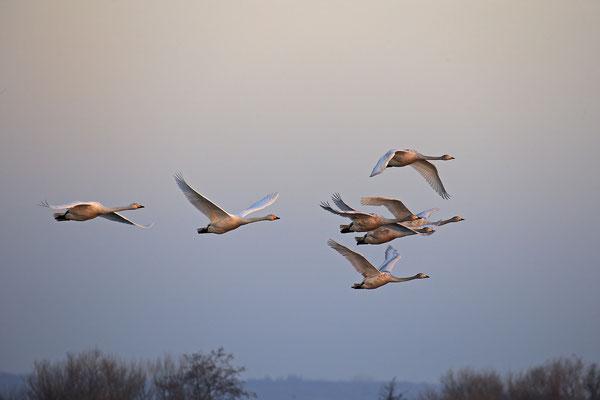 Singschwan,Whooper Swan,Cygnus cygnus 0054