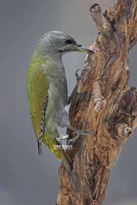 Grauspecht Weibchen,Picus canus,Gray-headed Woodpecker,female 0008