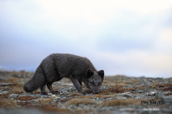 Polarfuchs,Eisfuchs,Arctic Foxes,Alopex lagopus,Vulpex lagopus 0064