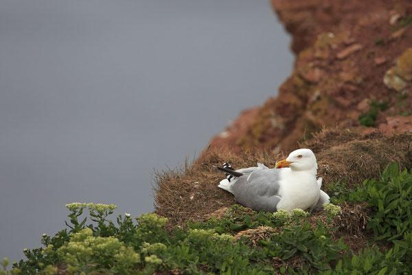 Silbermoewe Larus argentatus herring gull 0001