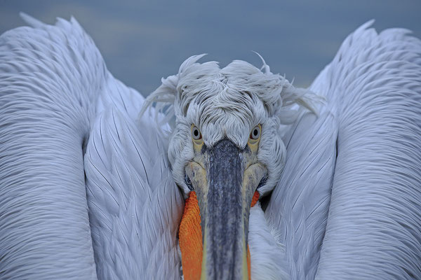 Krauskopfpelikan,Dalmatien pelican,pelecanus crispus 0001