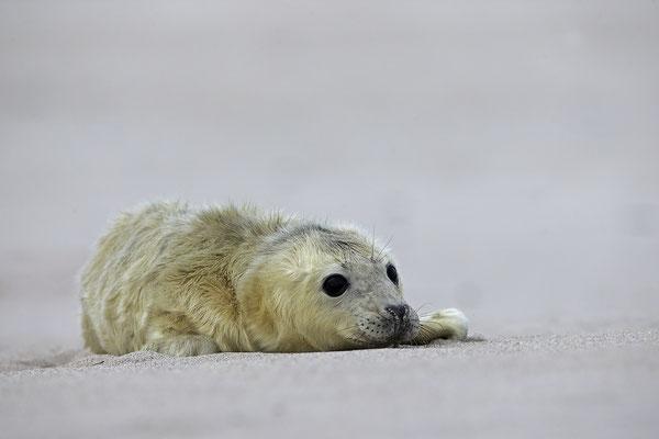 Kegelrobbe,Grey Seal,Halichoerus grypus 0169