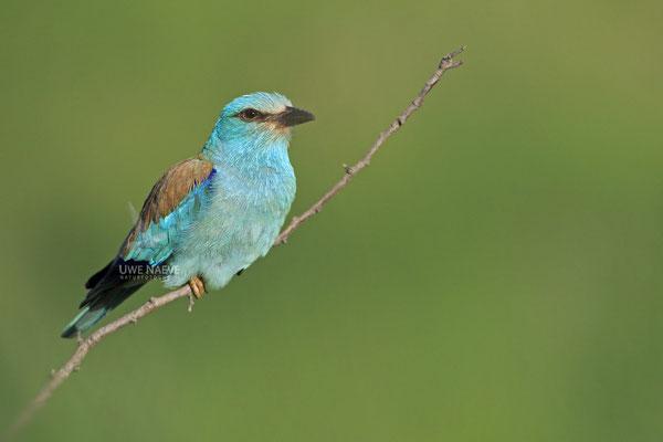 Blauracke, Coracias garrulus, Blue Roller 0003