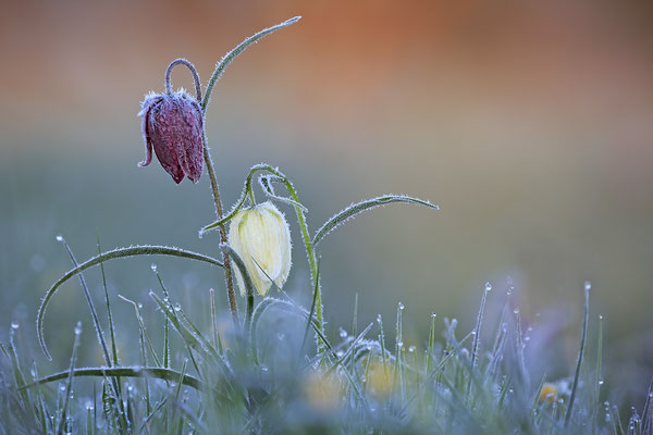 Schachbrettblume,Kiebitzei,Fritillaria meleagris,Fritillary 0063