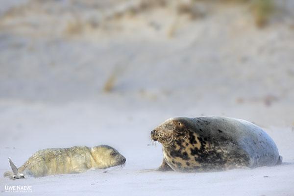 Kegelrobbe,Grey Seal,Halichoerus grypus 0181
