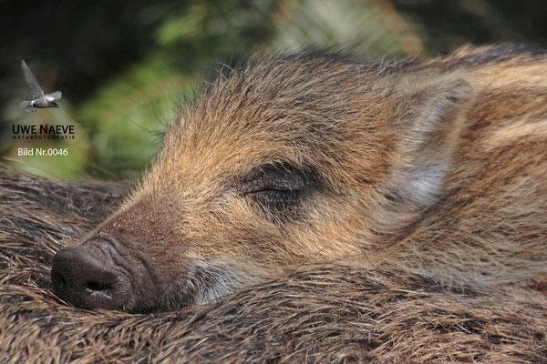 Wildschwein Bache mit Frischling,Wild Boar Sow with Piglets,Sus scrofa 0046