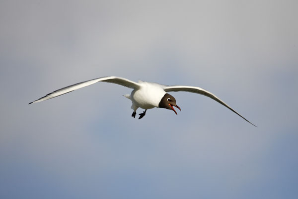 Lachmoewe ,Larus ridibundes,Black-headed Gull 0027