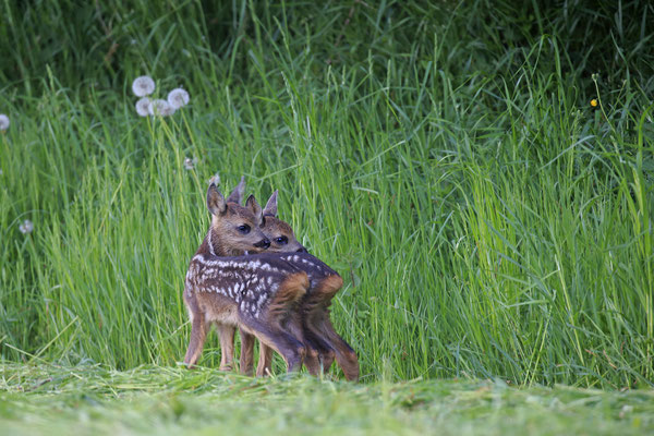 Rehkitz,Roe Deer fawn,Capreolus capreolus 0094