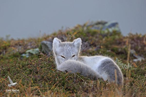 Polarfuchs,Eisfuchs,Arctic Foxes,Alopex lagopus,Vulpex lagopus 0077