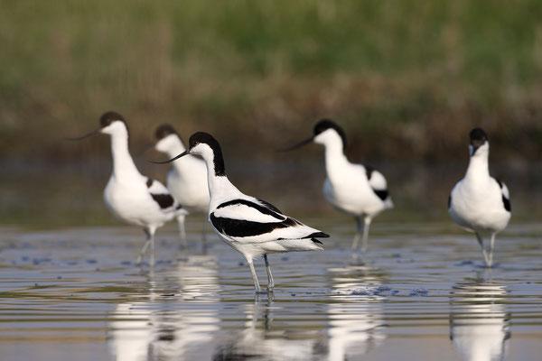 Säbelschnäbler,Recurvirostra avosetta,Avocet 22